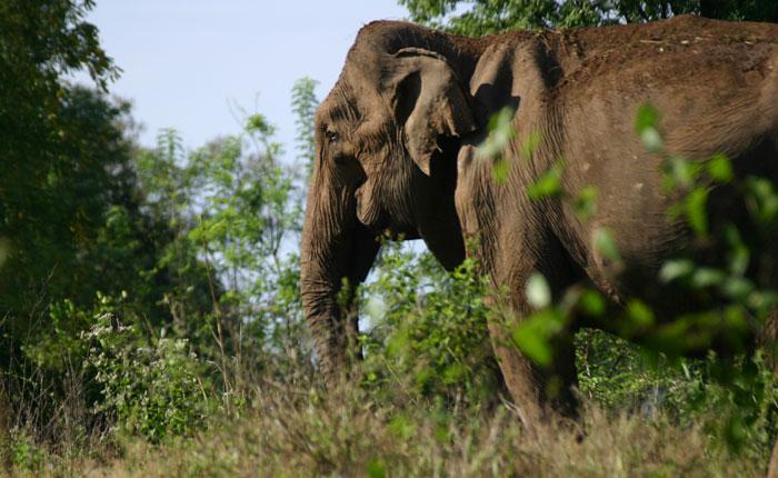 Image - Sri Lanka elephant