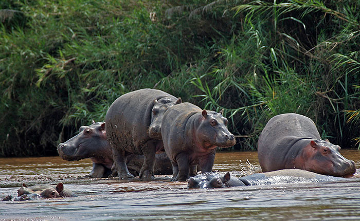 Image: Hippos on the banks of Lake Taganyika in Burundi