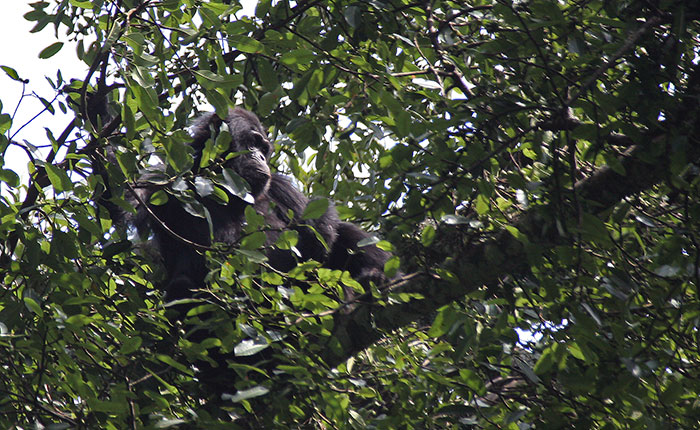 Chimpanzee in Nyungwe National Park, Rwanda, Africa