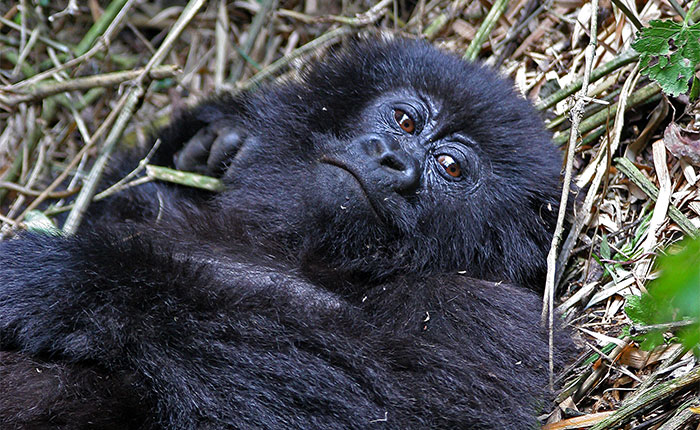 Image: Infant gorilla in Volcanoes NP, Rwanda