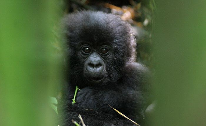 Image: Baby gorilla at Volcanoes NP, Rwanda